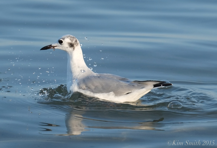 Bonaparte's Gull winter plumage Massachusetts ©Kim Smith 2015