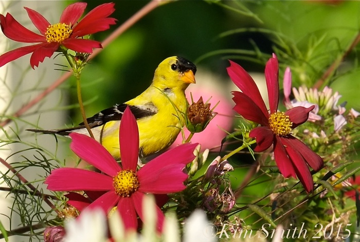 Cosmos American Goldfinch ©Kim Smith 2015