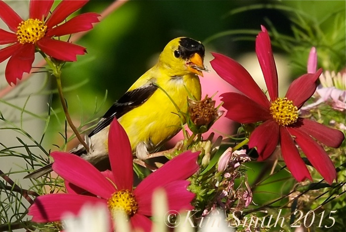 Cosmos Goldfinch ©Kim Smith 2015