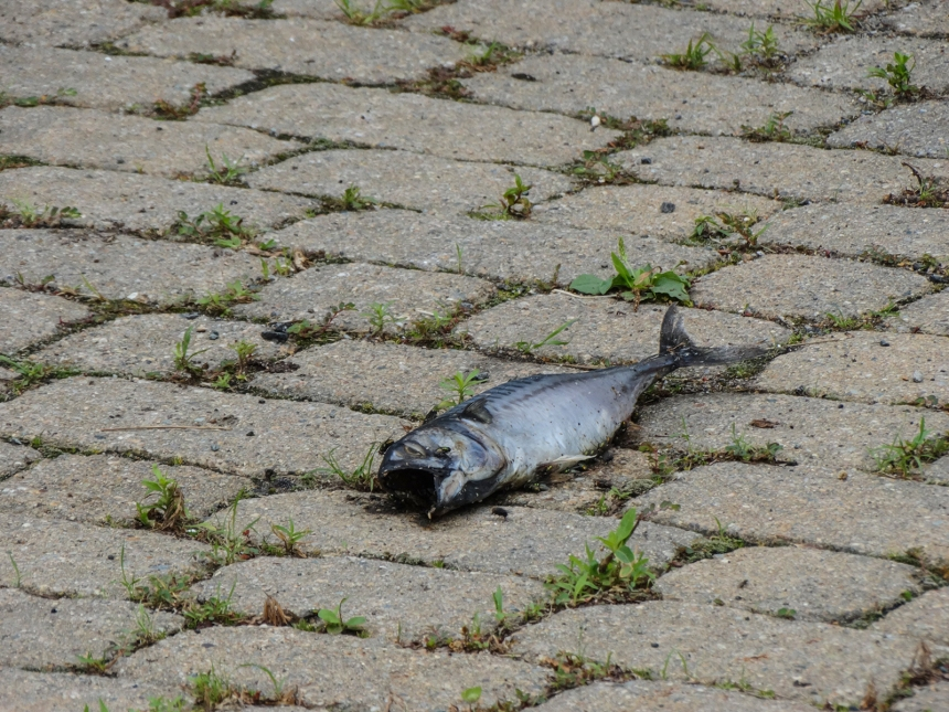 dead fish in the middle of the road