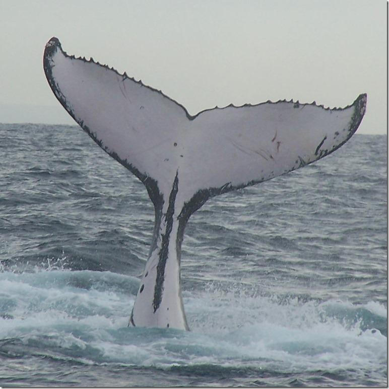Humpback_whale_fluke_(2)