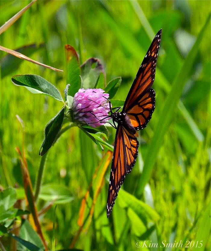 Monarch Butterfly Female -2 ©Kim Smith 2015