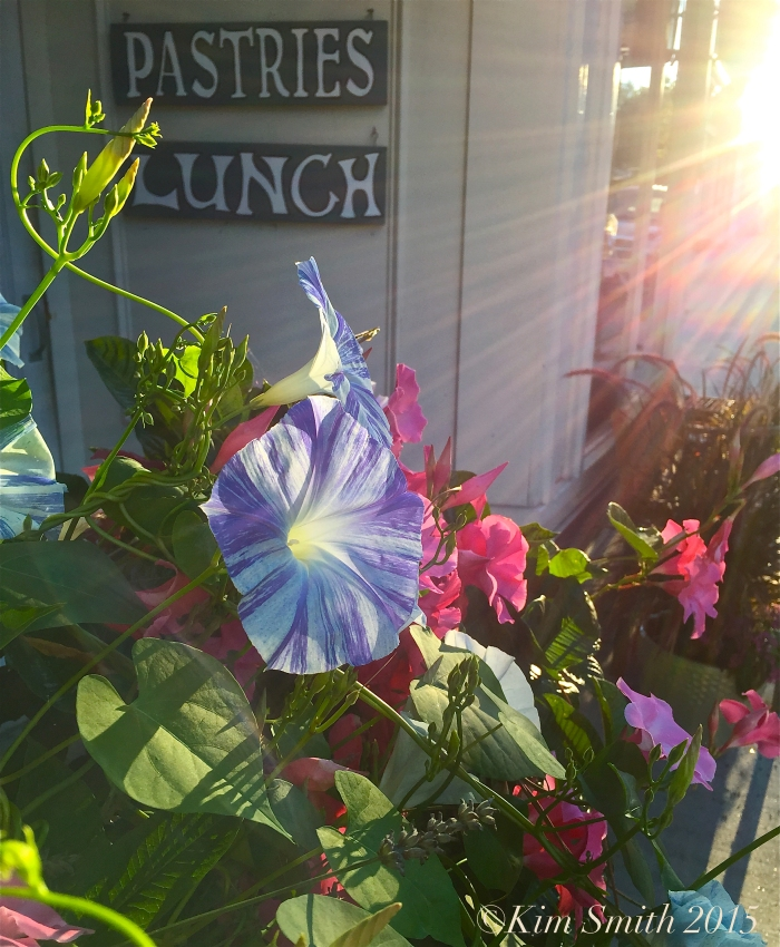 Morning Glories Gloucester ©Kim Smith 2015