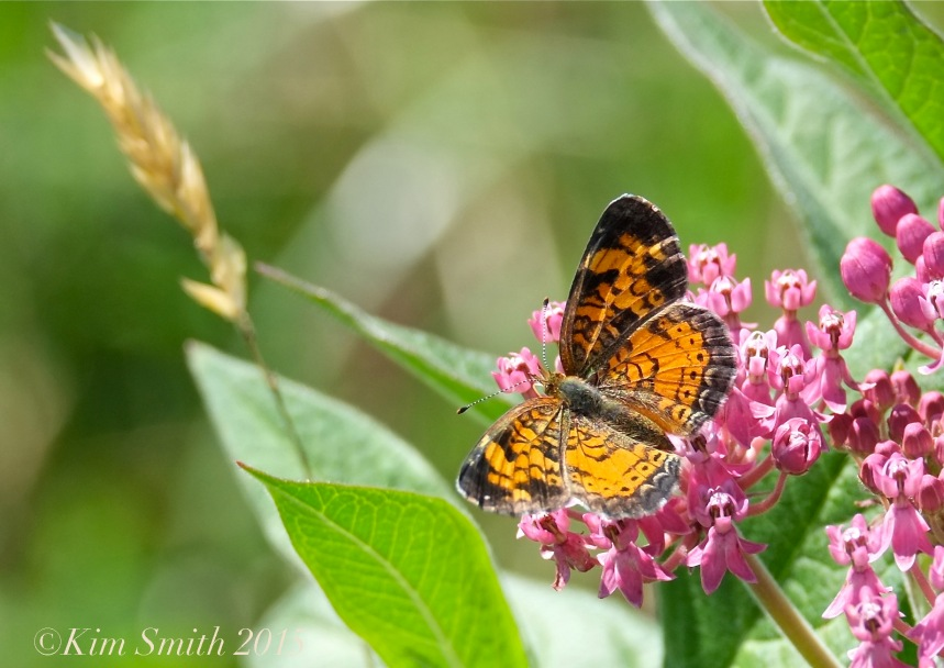 Pearl Crescent  Butterfly Female Milkweed ©Kim Smith 2015