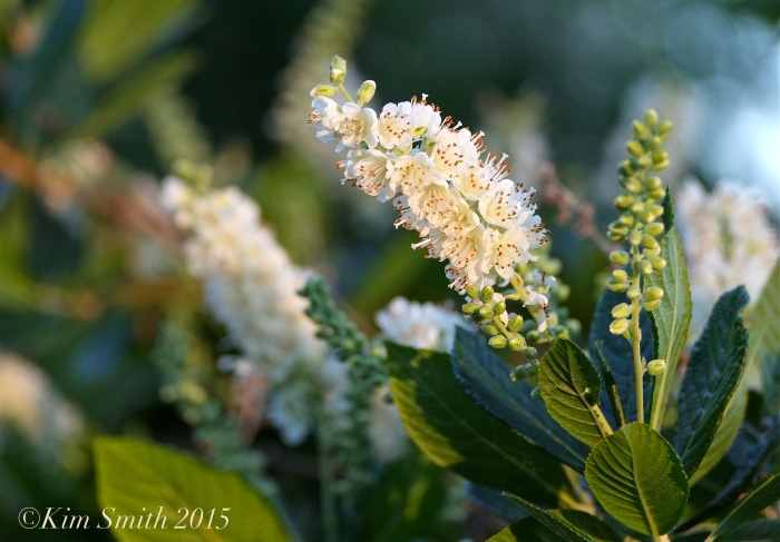 Summersweet (Clethra alnifoloa( ©Kim Smith 2015