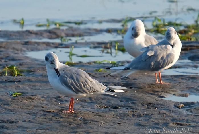 Bonaparte's Gulls Cape Ann Massachusetts ©Kim Smith 2015