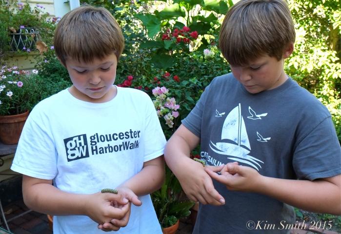 Charles and George Ryan Monarch caterpillars ©Kim Smith 2015