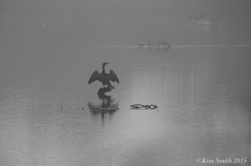 Cormorant Clark Pond ©Kim Smith 2015