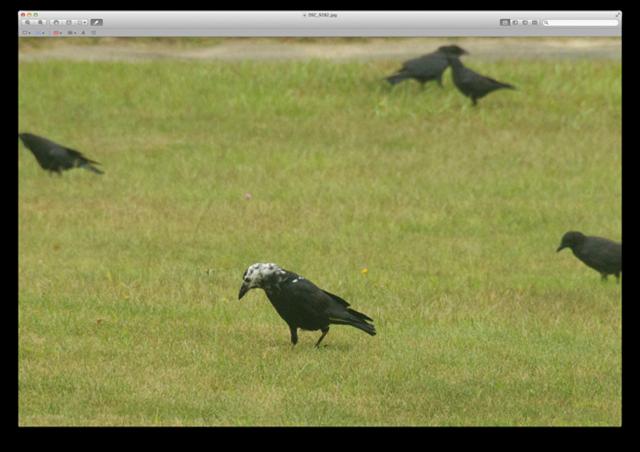 leucistic crow 1