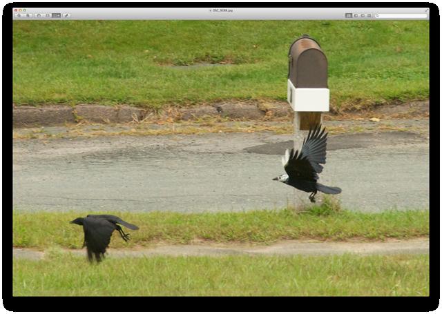 Leucistic crow 2