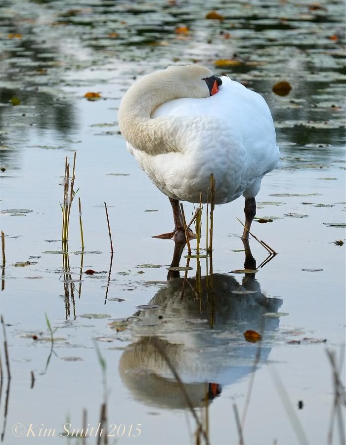 Male Swan Niles Pond September ©Kim Smith 2015
