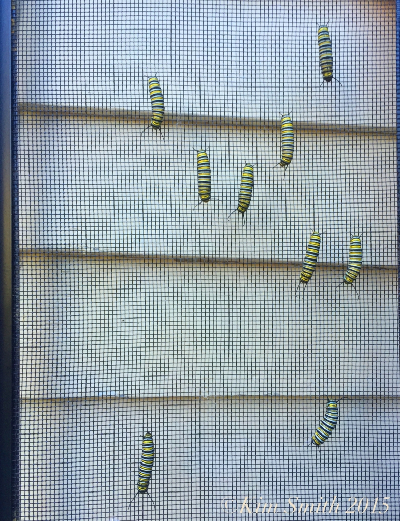 Monarch caterpillars north south ©Kim Smith 2015JPG