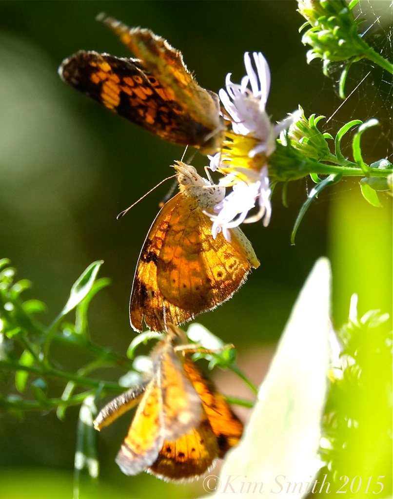 Pearl Crescent Butterflies -2©Kim Smith 2015