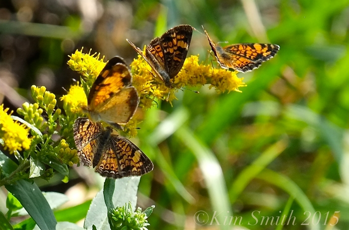 Pearl Crescent Butterflies -4 ©Kim Smith 2015