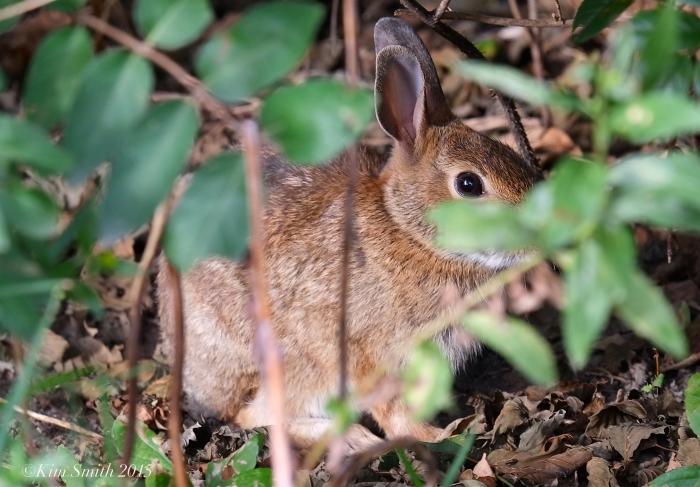 Rabbit ©Kim Smith 2015