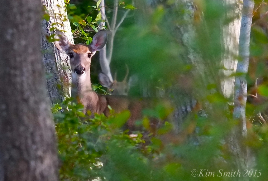 White-tailed deer -2 ©Kim Smith 2015
