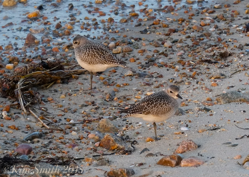 Black-bellied Plover ©Kim Smith 2015JPG