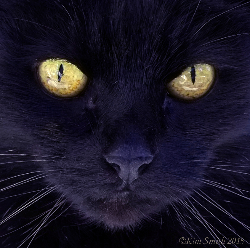 Black cat ©Kim Smith 2015 copy