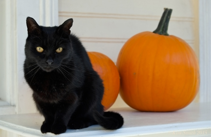 Black cat orange pumpkin ©Kim Smith 2015