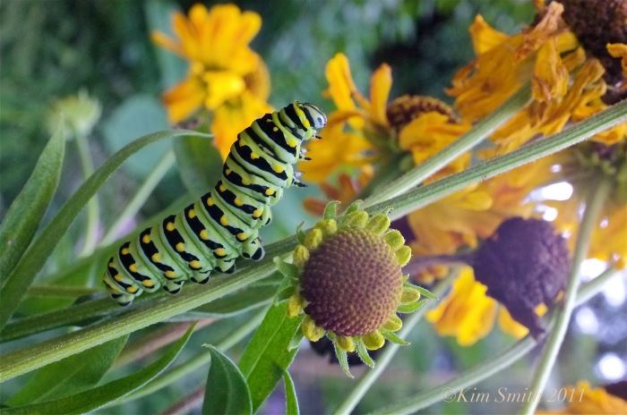 Black swallowtail Caterpillar ©Kim Smith 2011 copy
