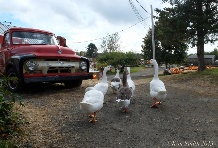 domestic Geese Russell Orchards Ipswich ©Kim Smith 2015