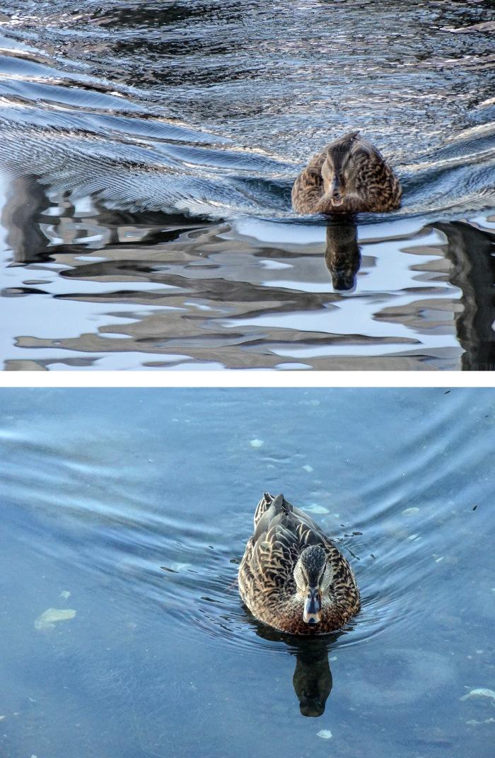 ducks rush
