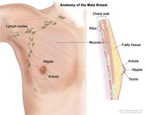Male Breast Tissue