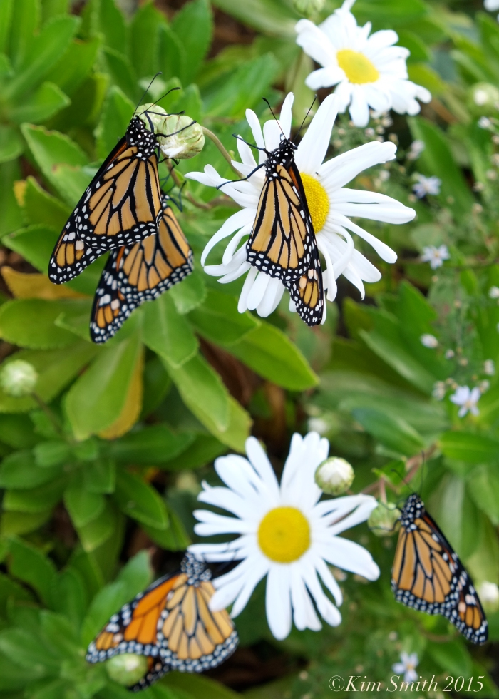 Monarch Butterflies Daisies ©Kim Smith 2015
