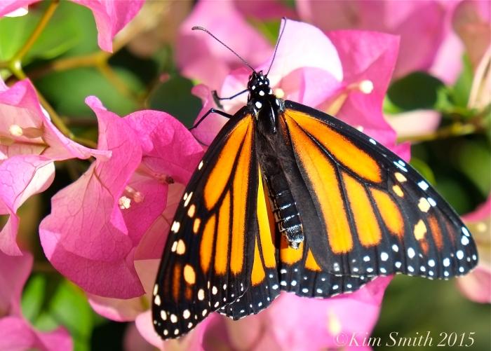 Monarch Butterfly bougainvillea ©Kim Smith 2015