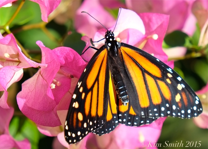 Monarch Butterfly bougainvillea ©Kim Smith 2015