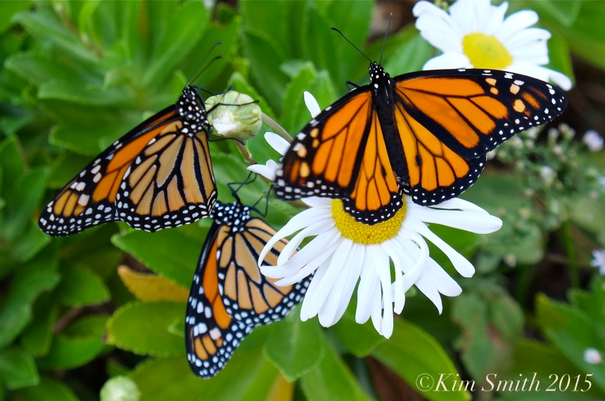 Monarch Butterfly daisy ©Kim Smith 2015
