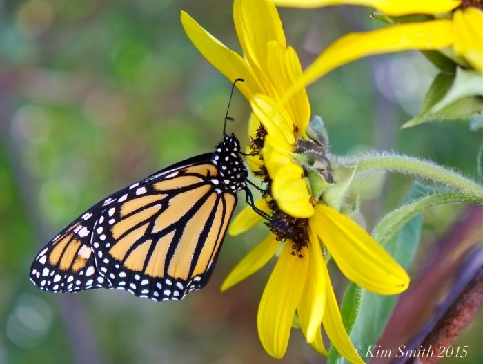Monarch Butterfly sunflower ©Kim Smith 2015