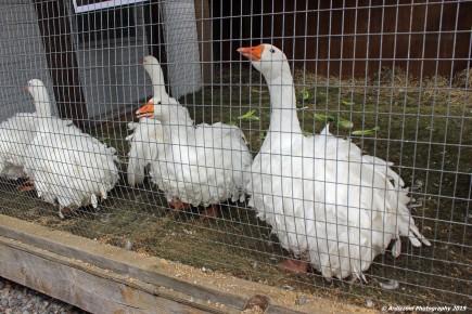 October 4, 2015 Price winnng Geese