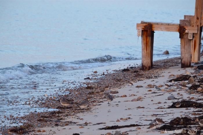 Plover cape Cod ©kim Smith 2015,