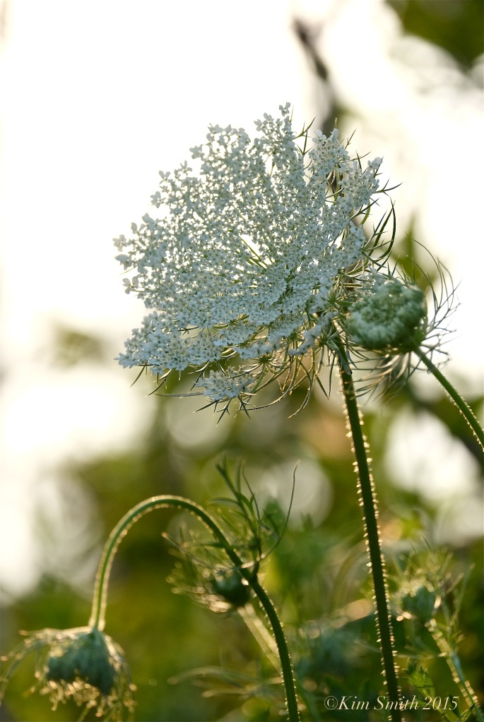 Queen Annes's Lace -4 ©Kim smith 2015