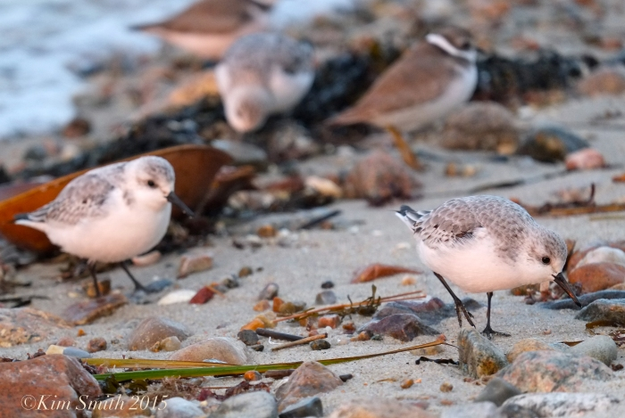 Sanderlings, plover ©Kim Smith 2015