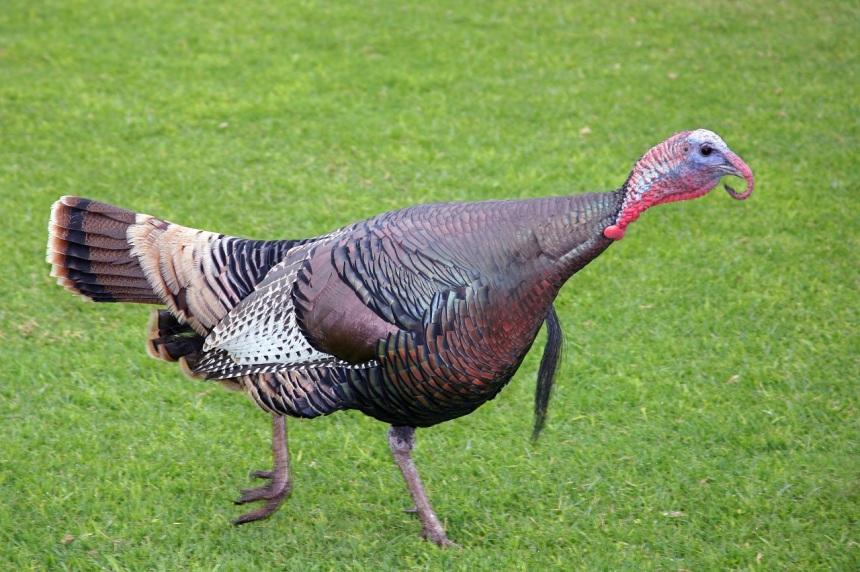 wild_turkey_3