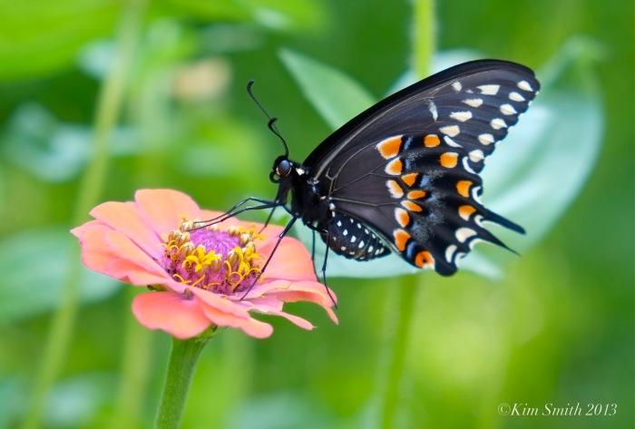 Black Swallowtail Butterfly Zinnia Male ©Kim Smith 2013.