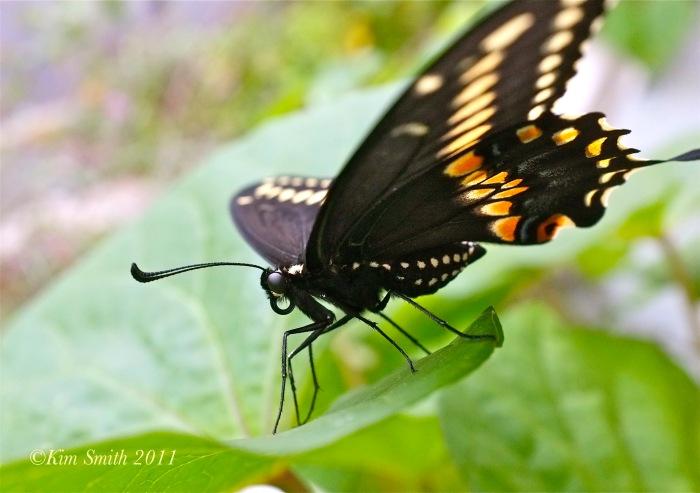 Black Swallowtail High Res