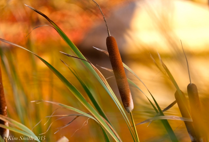 Cattails in the wind ©Kim Smith ©2015