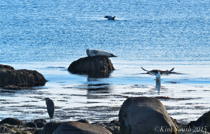 Great Blue heron Gull Seals Brace cove ©Kim Smith 2015