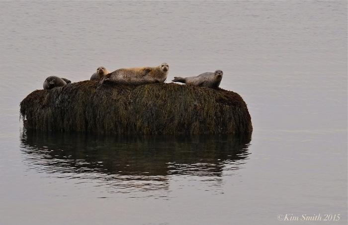 Harbor Seals spotted coat Atlantic ©kim Smith 2015