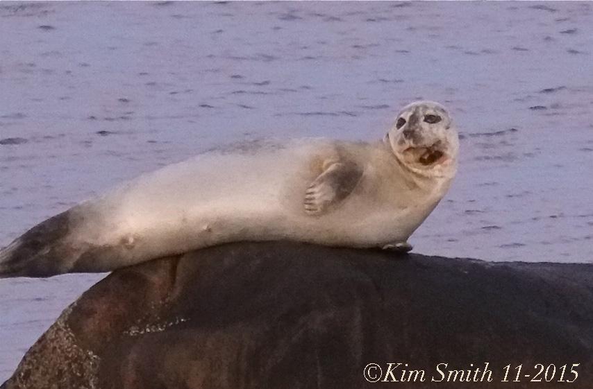 Injured harbor seal ©Kim Smith 2015