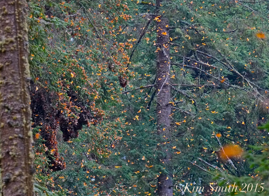 Monarch Butterfly Exposion -2 ©Kim Smith 2014 300dpi copy