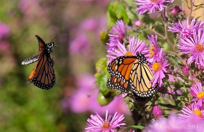 monarch-in-flight-c2a9kim-smith-2014 (1)