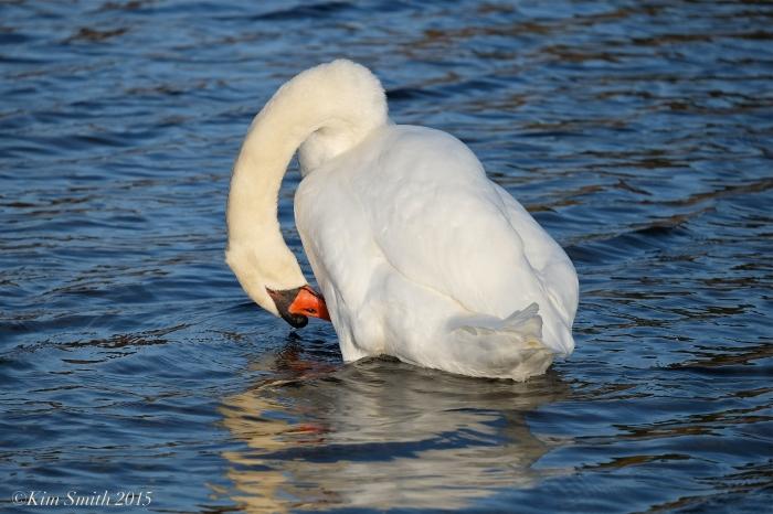 Mr. Swan ©Kim Smith 2015