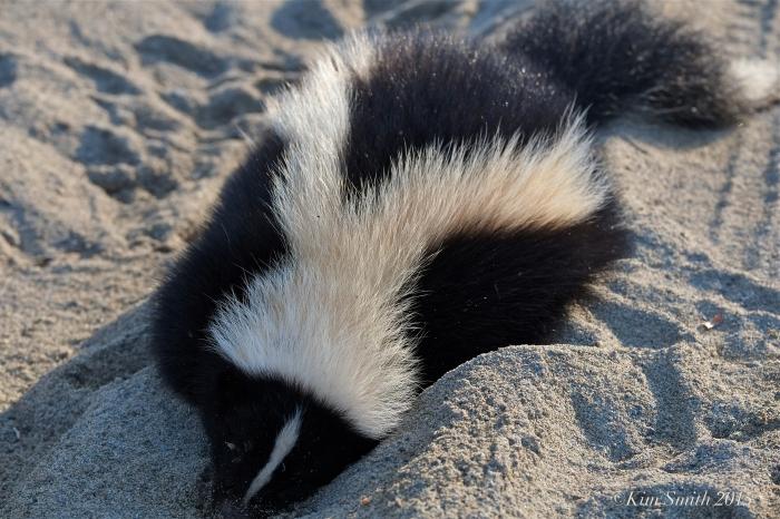 Skunk dead ©kim Smith 2015