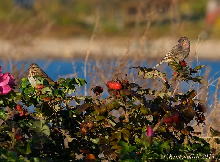 Song Sparrow and Finch ©Kim Smith 2015