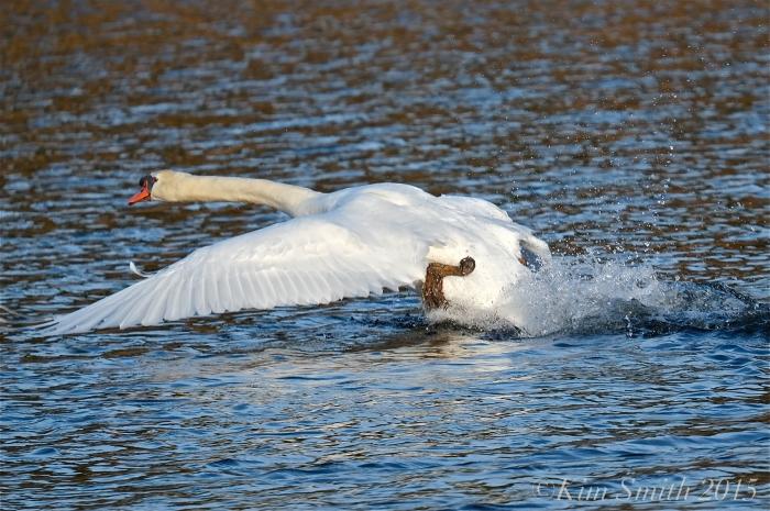 Swan cygnus olor ©Kim Smiuth 2015