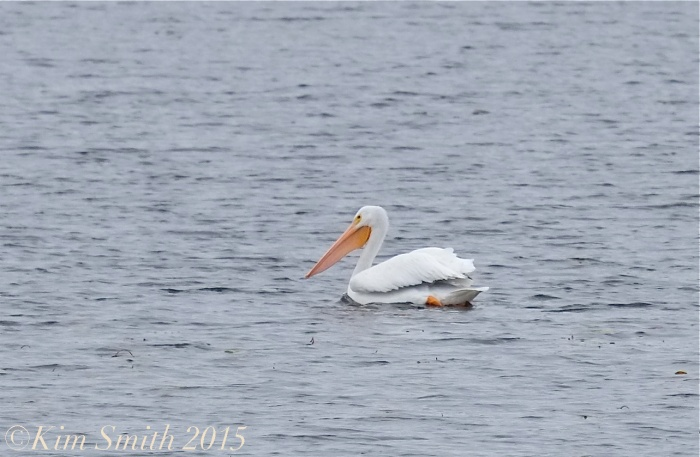 White pelican Massachusetts gloucester ©Kim Smith 11-16-15